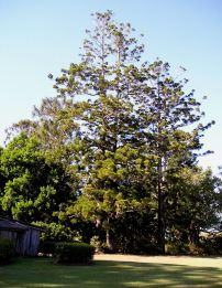 Hoop pine, Araucaria cunninghamiana