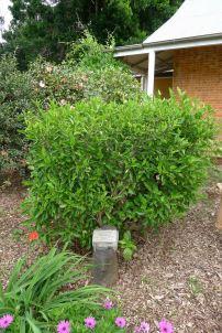 Ormiston Hibiscus