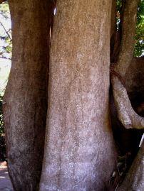The Quadrangulata, Elaeodendron quadrangulatum