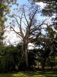 Queensland lacebark, Brachychiton discolor