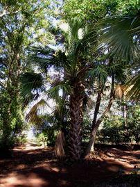 Sonoran palm, Sabal uresana