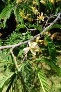 Tamarind, Tamarindus indicus