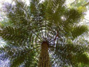Cyathea australis - 2
