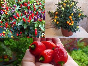Edible and Inedible Solanaceae