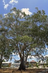 Forest Red Gum, Eucalyptus tereticornis,  Lota foreshore