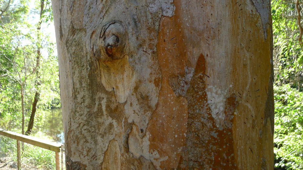 See the Koala claw marks?