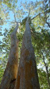 Grey Gum, Eucalyptus propinqua, Kumbartcho Sanctuary