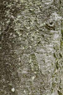 Klinki or Cook pine bark, Araucaria columnaris