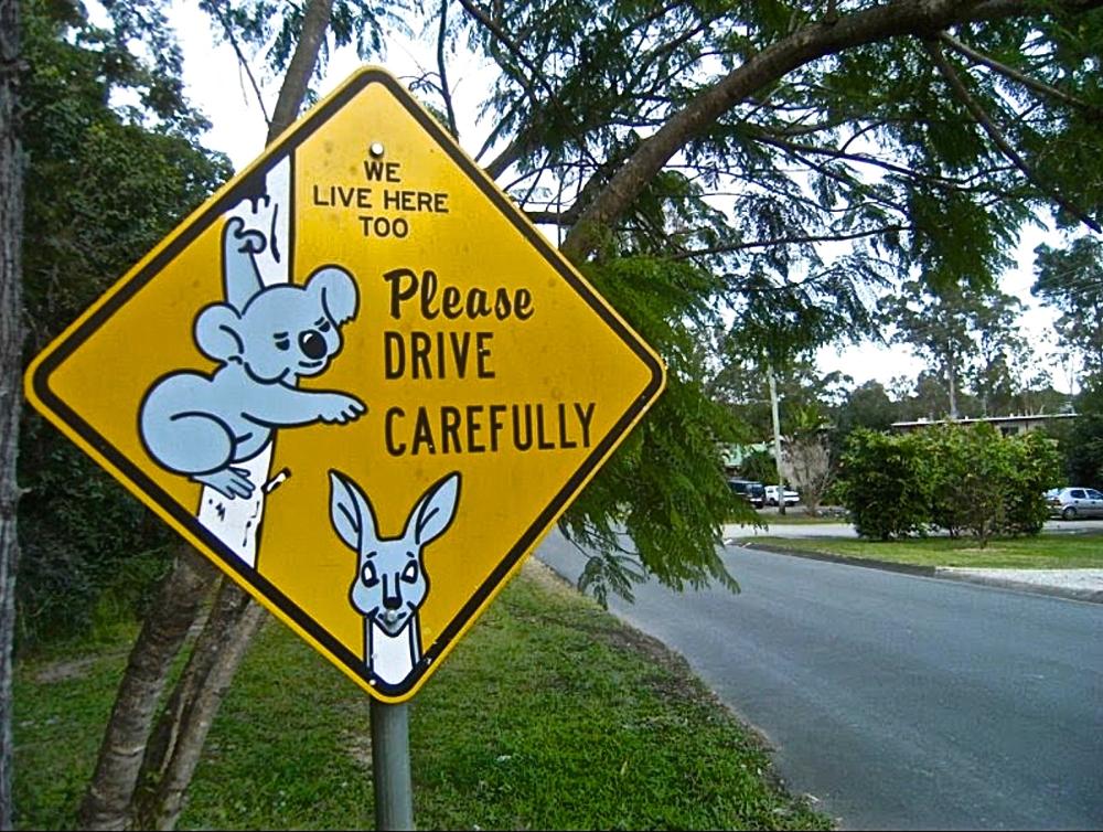 Koalas live here too
