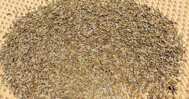 Florence Fennel seed, Foeniculum vulgare 'Zefa-Fino'