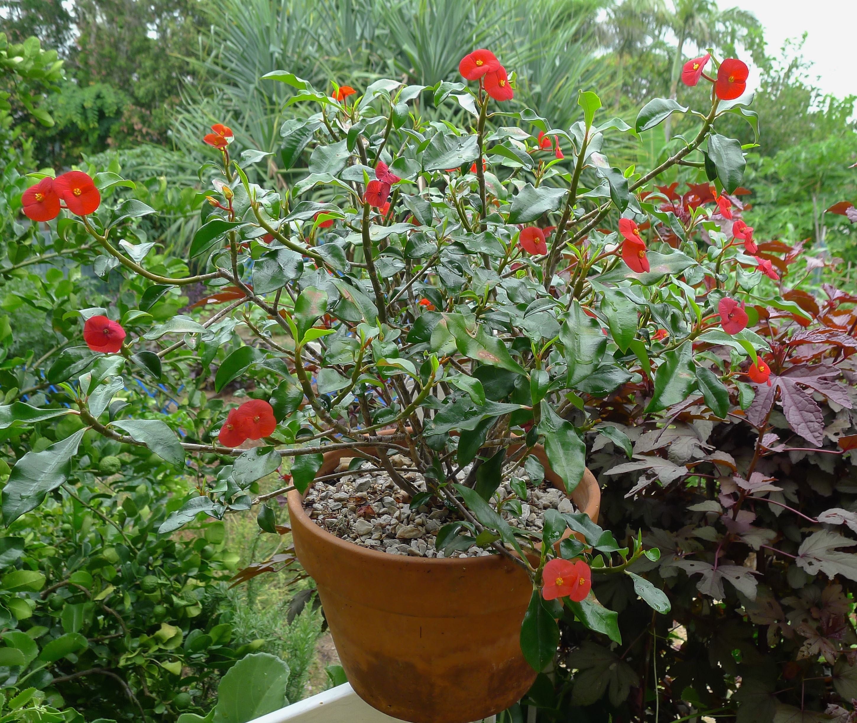 Gerold s thornless crown of thorns euphorbia geroldii for Crown of thorns plant