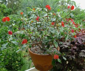 Gerold's Thornless Crown of Thorns, Euphorbia geroldii