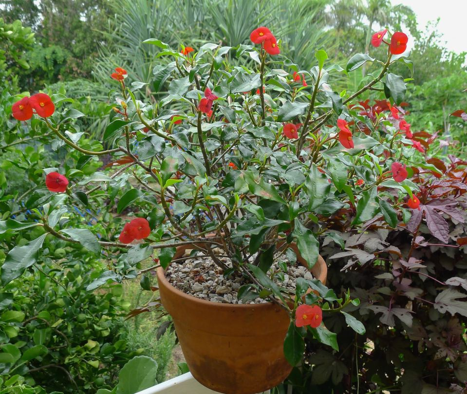 Gerold's Thornless Crown of Thorns, Euphorbia geroldii