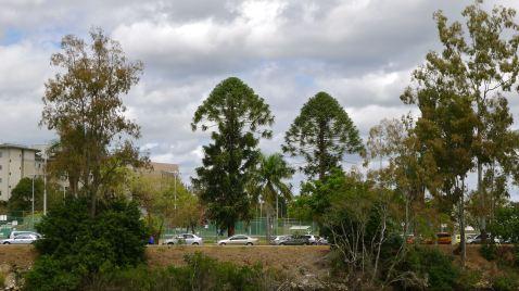 Bunya pines, Brisbane River