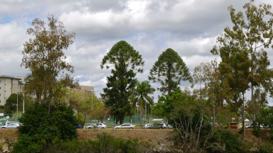 Bunya pines, Brisbane River
