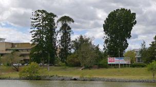 Brisbane River: Bunya (LHS), Qld Kauri Pine (Agathis robusta, RHS)