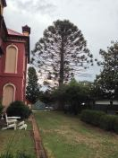 Bunya, planted at Stannum House, Tenterfield