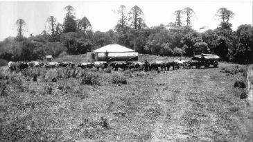 Felling Bunya pine, Bunya Mountains, ca 1910