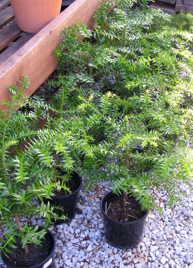 Bunya pine seedlings propagated from a specimen at Sydney's Domain