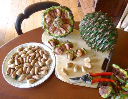 Bunya nuts, Araucaria bidwillii