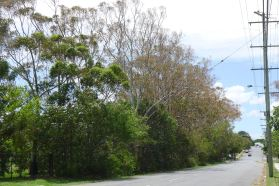 Cyclone Oswald salt spray affected Eucalyptus