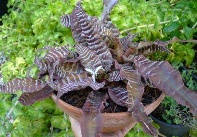 Cryptanthus zonatus