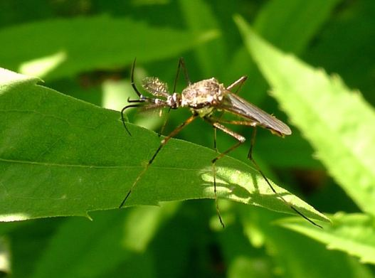 Male predatory mosquito, Toxorhynchites speciosus