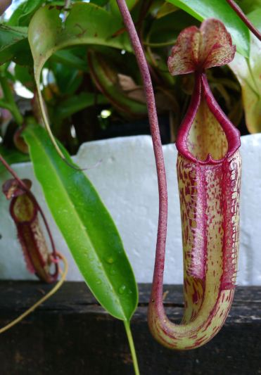 Potted Pitcher plant (Nepenthes) standing in water-filled trough