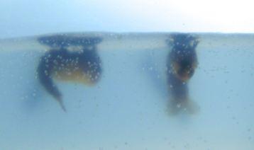 Predatory mosquito larvae, Toxorhynchites speciosus