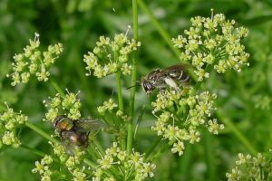 Halictid bee, Austronomia flavoviridis, on parsley