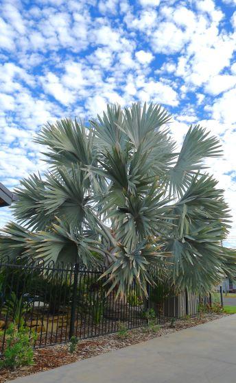 Bismarkia nobilis, a spectacular Madagascan palm that thrives in Barcaldine