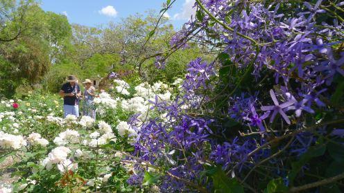 Blooming Barcaldine: 'Kyneton' rose garden