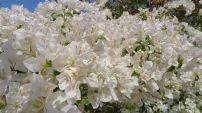 Bougainvillea 'Penelope', Heather's romantic cottage garden