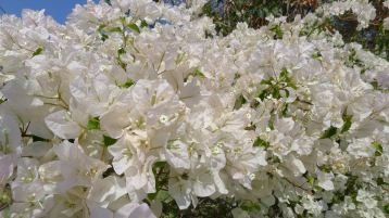 Bougainvillea 'Penelope', Heather's romantic cottage garden