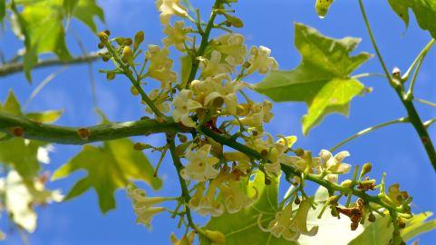 Broad-leaved Bottle tree, Brachychiton australis, Barcaldine