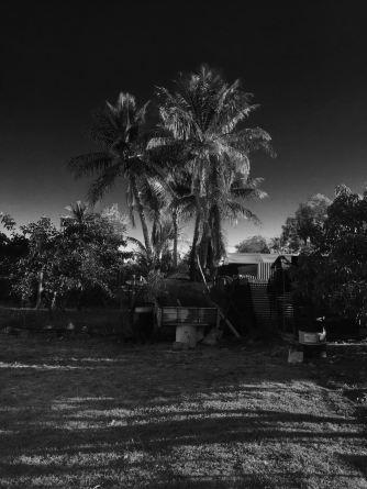 Coconut, Cocos nucifera, Barcaldine