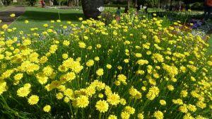 Hoary Sunray, Leucochrysum albicans var. albicans