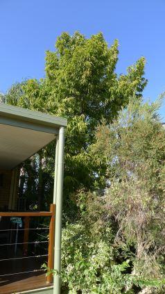 Indian Mast tree, Polyalthia longifolia, Barcaldine