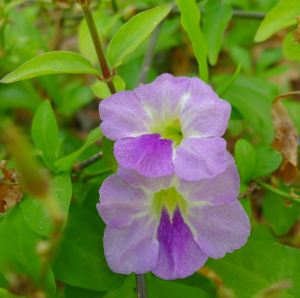 Kyneton, Asystasia travancorica, Barcaldine