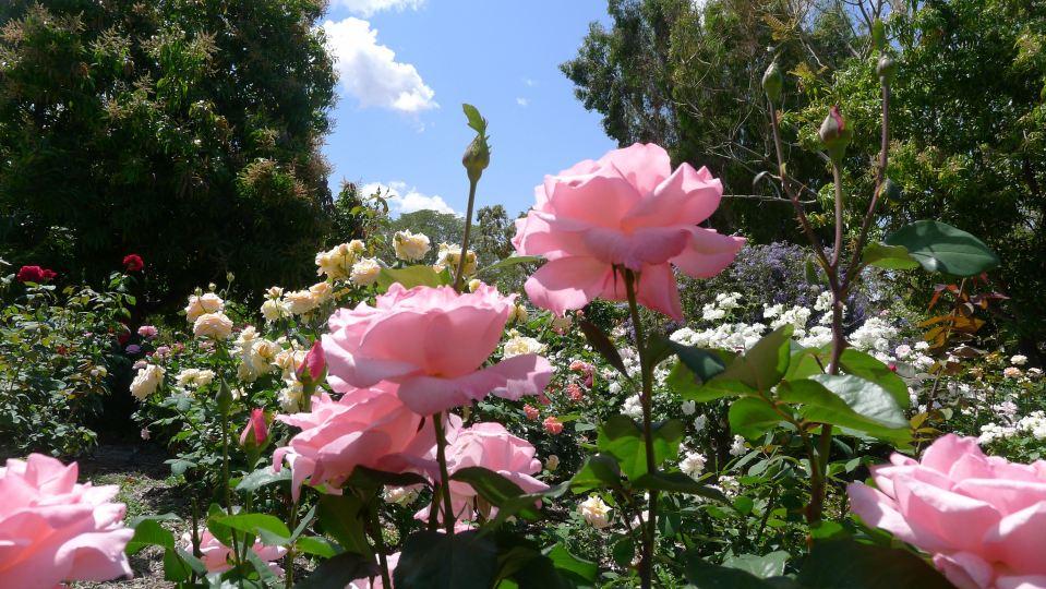 kyneton rose rosa queen elizabeth barcaldine 2. Black Bedroom Furniture Sets. Home Design Ideas