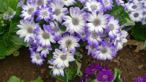 Florists' Cineraria with Honeybee