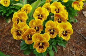 Pansy, Viola tricolor
