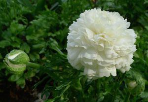 Fully open Ranunculus asiaticus