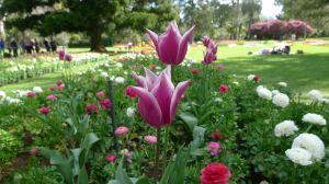 Fully open tulips