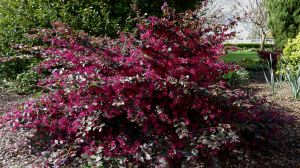 Chinese Fringe flower, Loropetalum chinense 'Ruby'