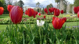 Tulips two weeks ahead of schedule