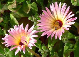 Livingstone Daisy, Dorotheanthus bellidiformis