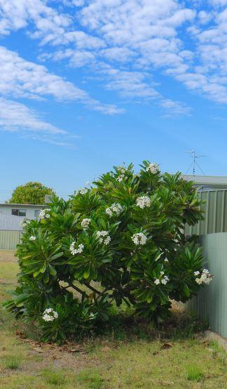 Evergreen frangipani, Plumeria obtusa
