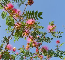 Surinam Powderpuff tree, Calliandra surinamensis