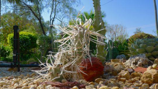 Paper Spine Cactus, Tephrocactus articulatus